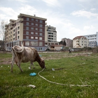 Cow and the city