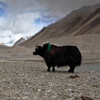 Yak in front of clouded Mt. Everest